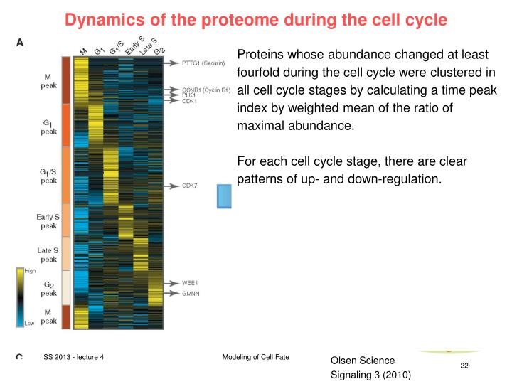 Dynamics of the proteome during the cell cycle
