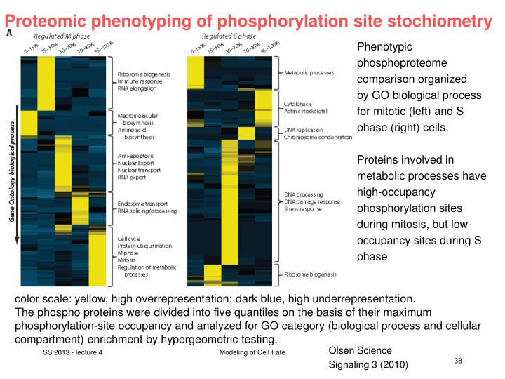Proteomic phenotyping of phosphorylation site stochiometry
