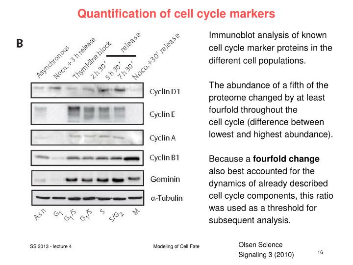 Quantification of cell cycle markers