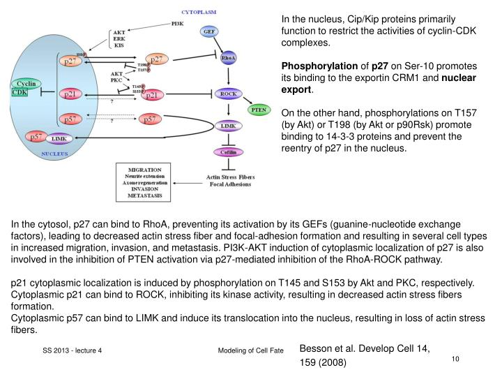 In the nucleus, Cip/Kip proteins primarily function to restrict the activities of cyclin-CDK complexes.