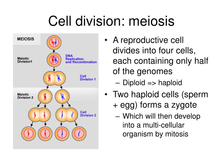 Cell division: meiosis