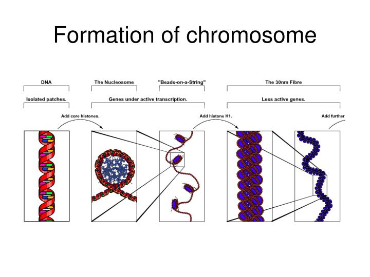 Formation of chromosome