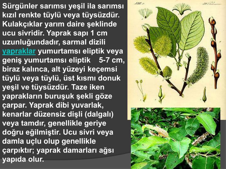 Sürgünler sarımsı yeşil ila sarımsı kızıl renkte tüylü veya tüysüzdür. Kulakçıklar yarım daire şeklinde ucu sivridir. Yaprak sapı 1 cm uzunluğundadır, sarmal dizili