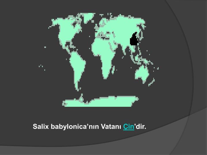 Salix babylonica'nın Vatanı