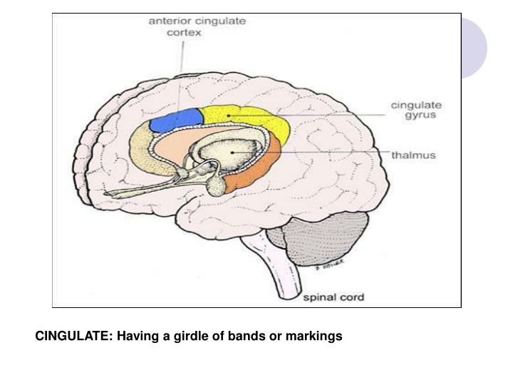CINGULATE: Having a girdle of bands or markings