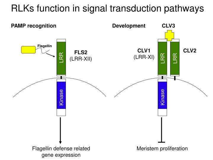 RLKs function in signal transduction pathways