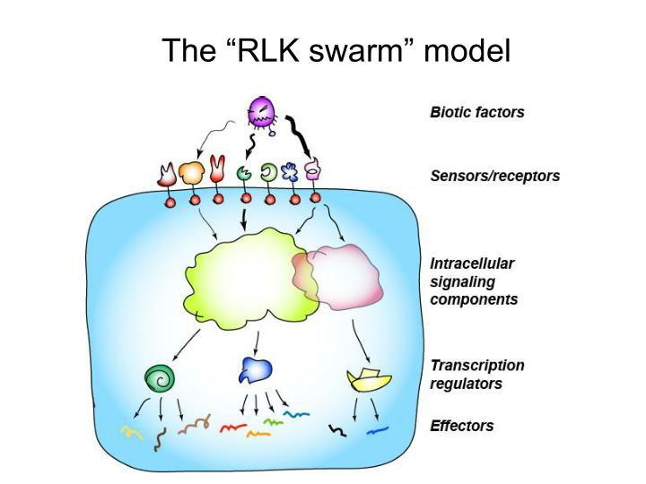 "The ""RLK swarm"" model"