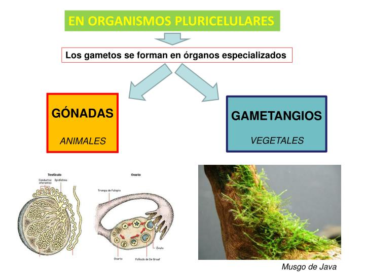 EN ORGANISMOS PLURICELULARES