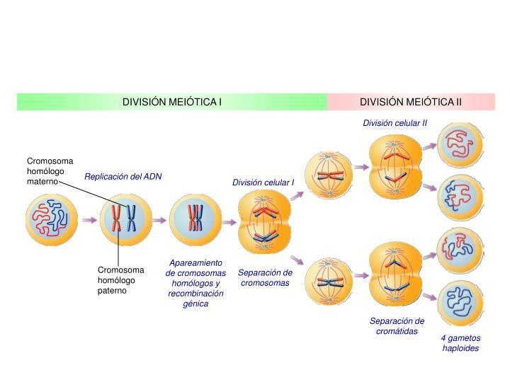 Cromosoma homólogo materno