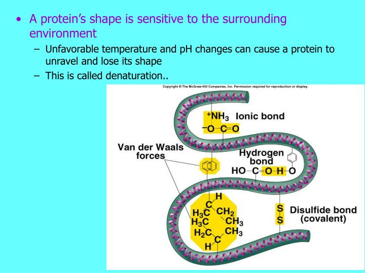 A protein's shape is sensitive to the surrounding environment