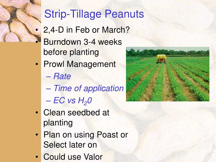 Strip-Tillage Peanuts