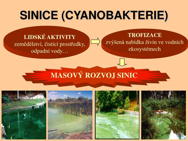 SINICE (CYANOBAKTERIE)