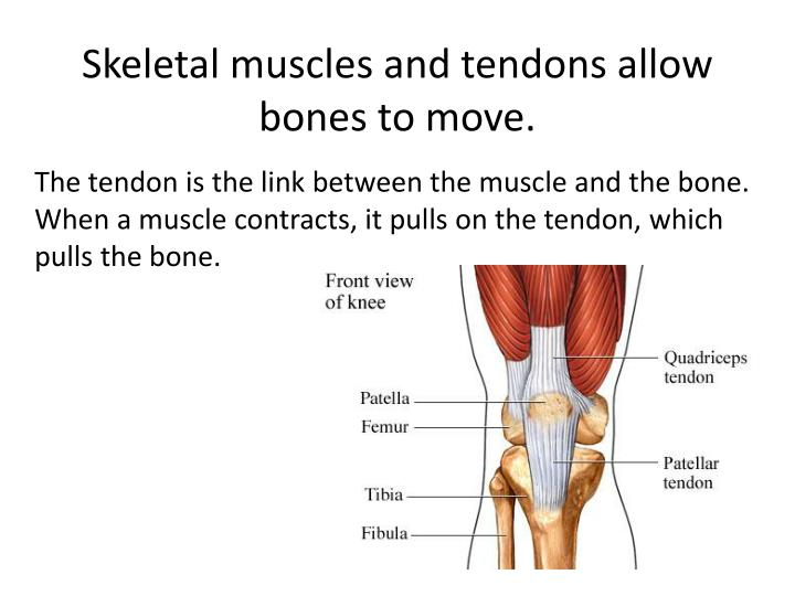 Skeletal muscles and tendons allow bones to move.