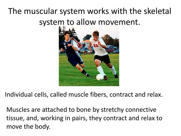 The muscular system works with the skeletal system to allow movement.