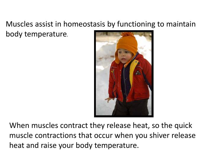 Muscles assist in homeostasis by functioning to maintain body temperature