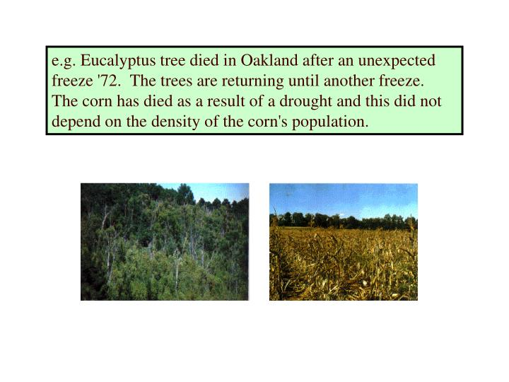e.g. Eucalyptus tree died in Oakland after an unexpected freeze '72.  The trees are returning until another freeze.  The corn has died as a result of a drought and this did not depend on the density of the corn's population.