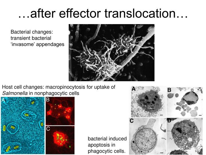 …after effector translocation…