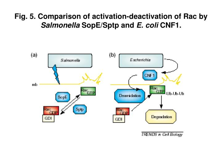 Fig. 5. Comparison of activation-deactivation of Rac by