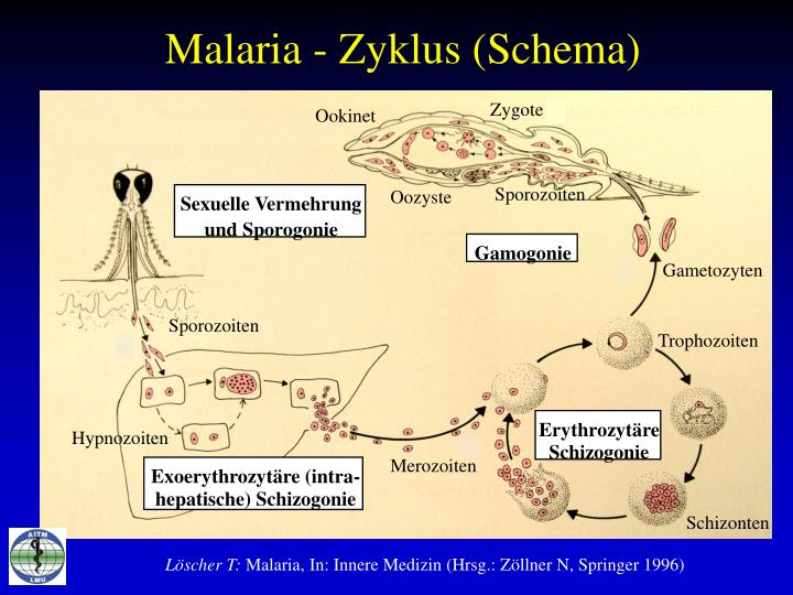 Malaria - Zyklus (Schema)