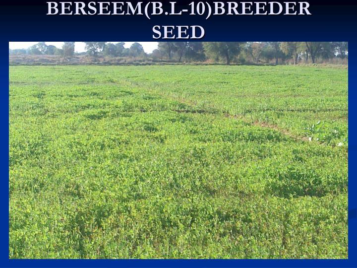 BERSEEM(B.L-10)BREEDER SEED