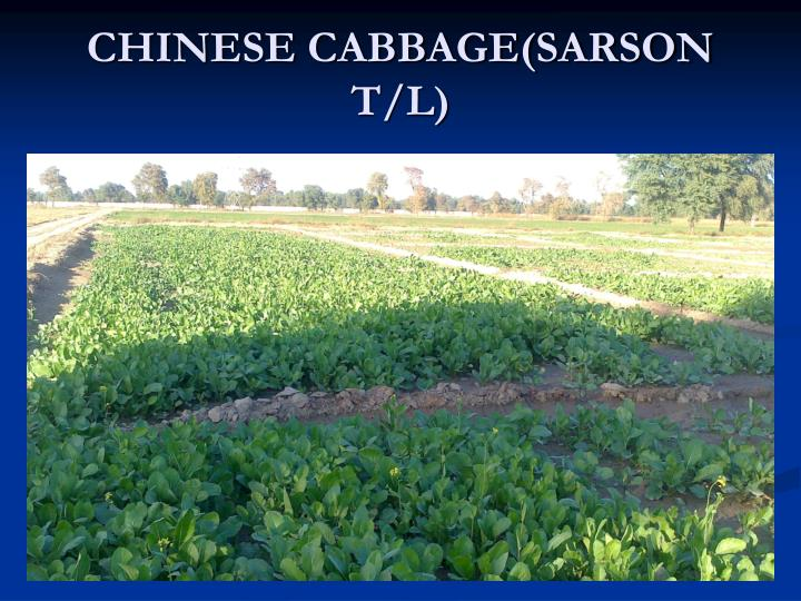 CHINESE CABBAGE(SARSON T/L)