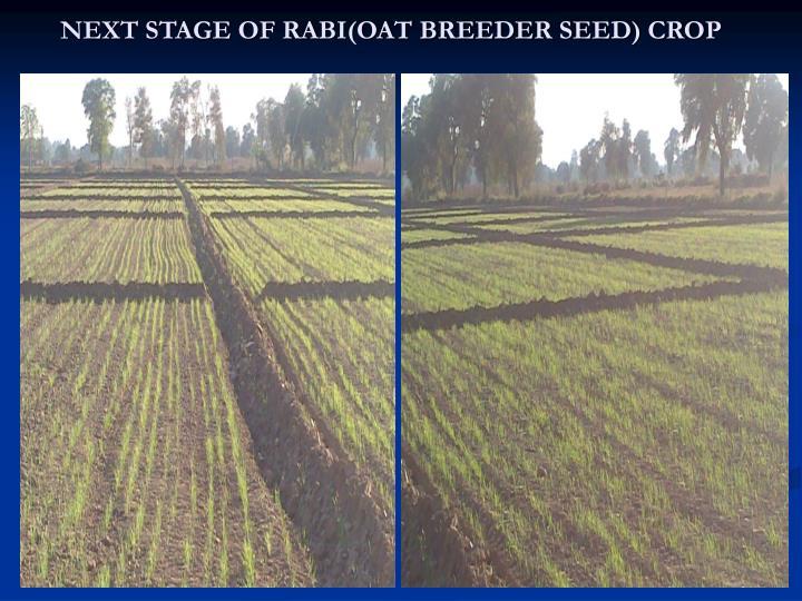 NEXT STAGE OF RABI(OAT BREEDER SEED) CROP