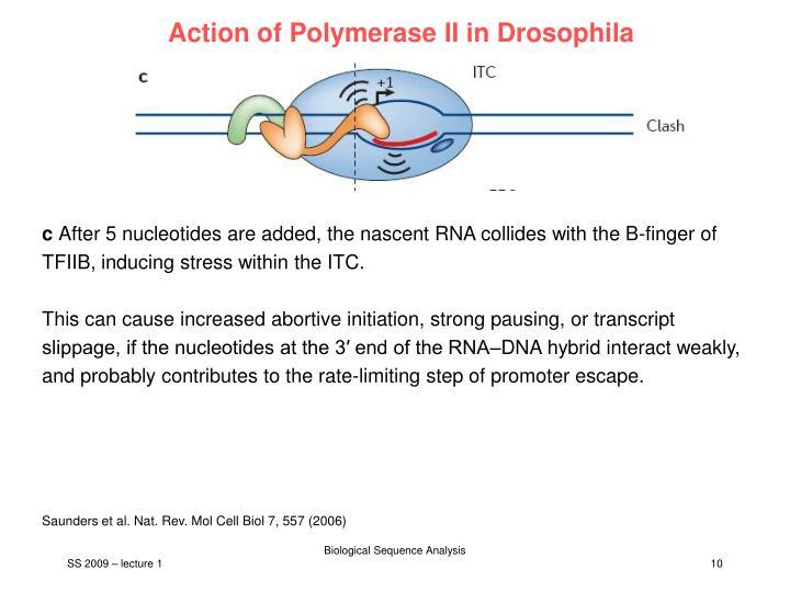 Action of Polymerase II in Drosophila