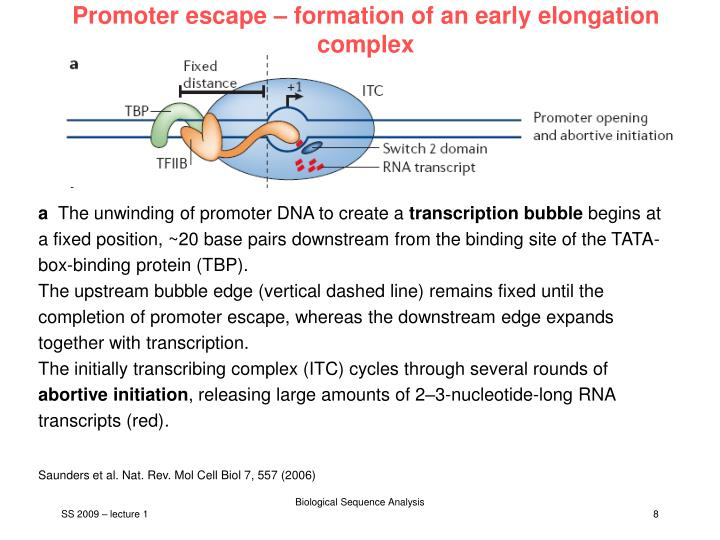 Promoter escape – formation of an early elongation complex
