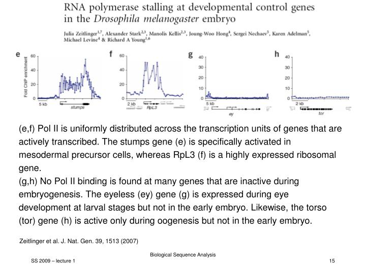(e,f) Pol II is uniformly distributed across the transcription units of genes that are actively transcribed. The stumps gene (e) is specifically activated in mesodermal precursor cells, whereas RpL3 (f) is a highly expressed ribosomal gene.
