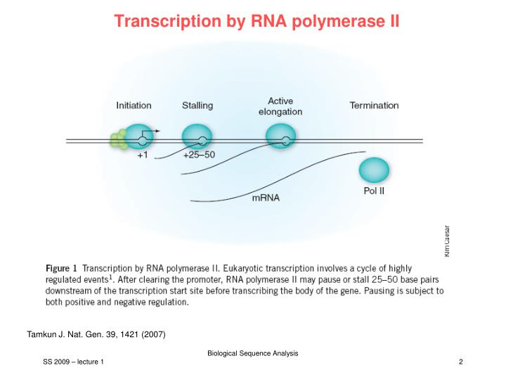 Transcription by RNA polymerase II