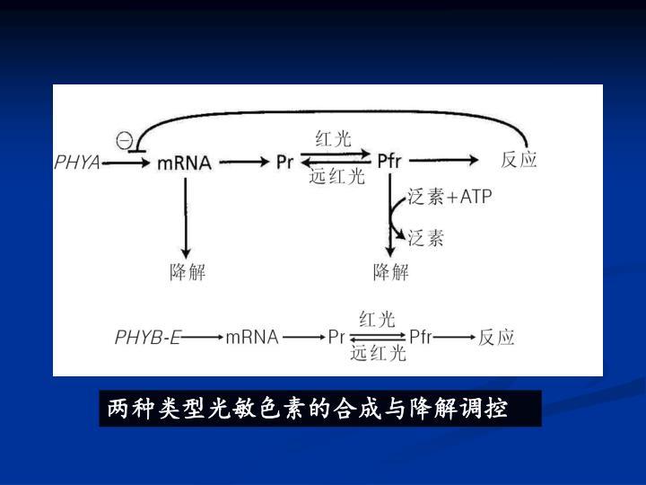 两种类型光敏色素的合成与降解调控