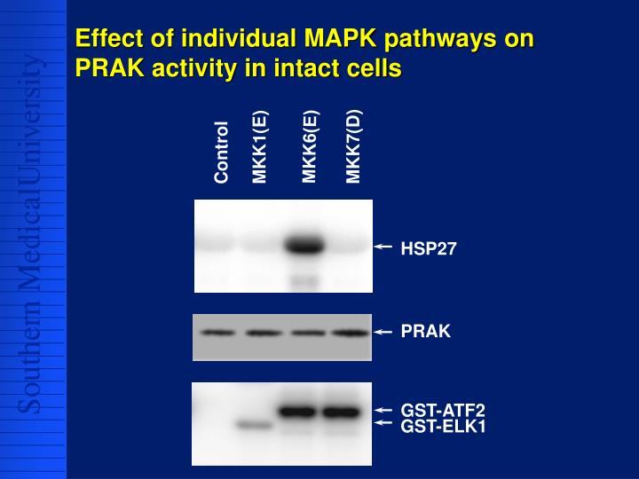 Effect of individual MAPK pathways on PRAK activity in intact cells