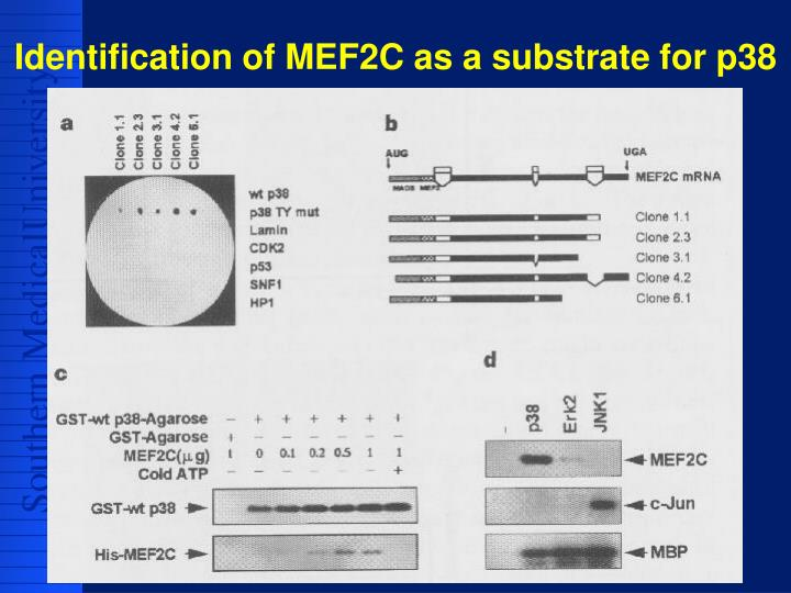 Identification of MEF2C as a substrate for p38