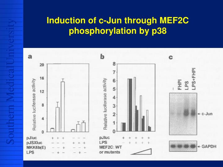 Induction of c-Jun through MEF2C phosphorylation by p38