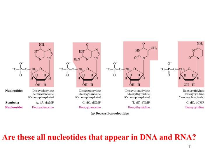 Are these all nucleotides that appear in DNA and RNA?