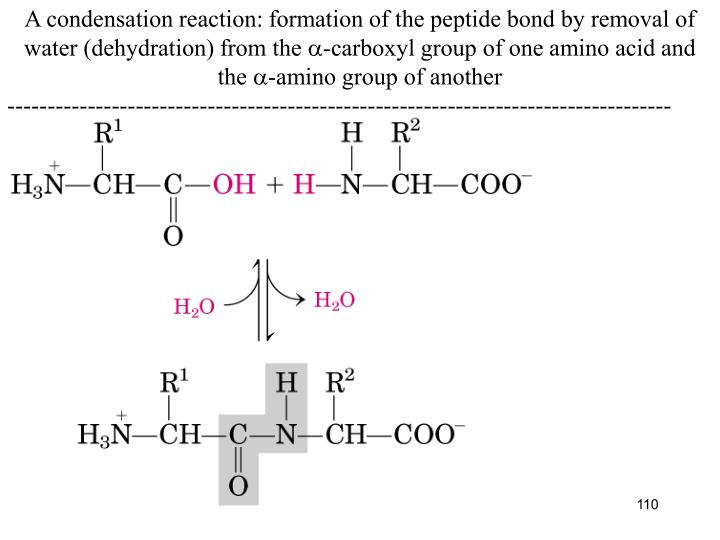 A condensation reaction: formation of the peptide bond by removal of water (dehydration) from the