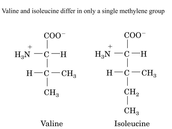 Valine and isoleucine differ in only a single methylene group