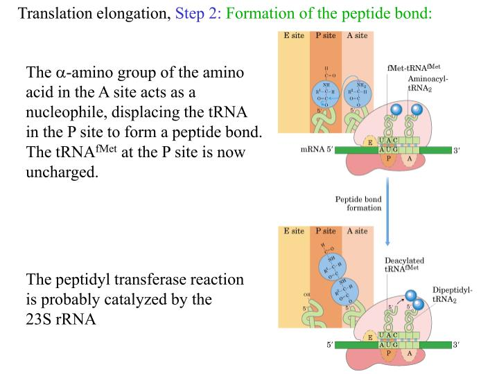 Translation elongation,