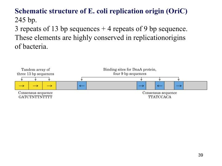Schematic structure of E. coli replication origin (OriC)