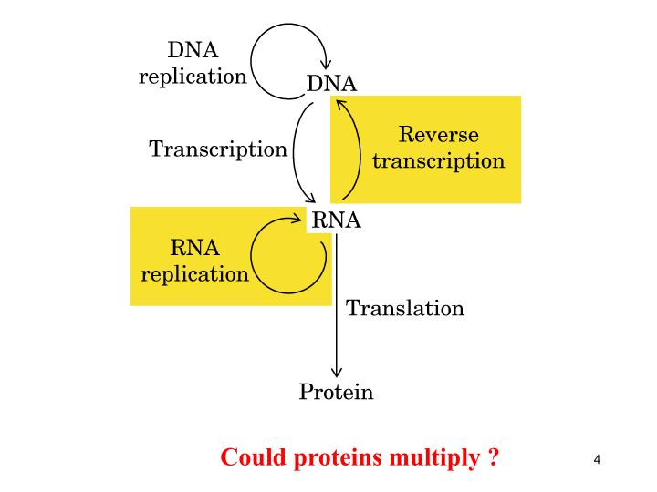 Could proteins multiply ?