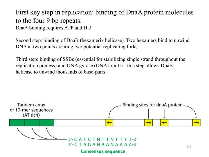 First key step in replication: binding of DnaA protein molecules