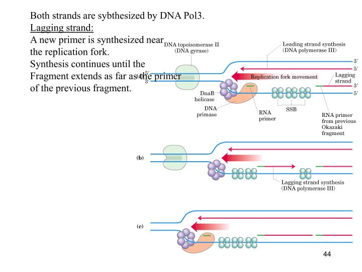 Both strands are sybthesized by DNA Pol3.