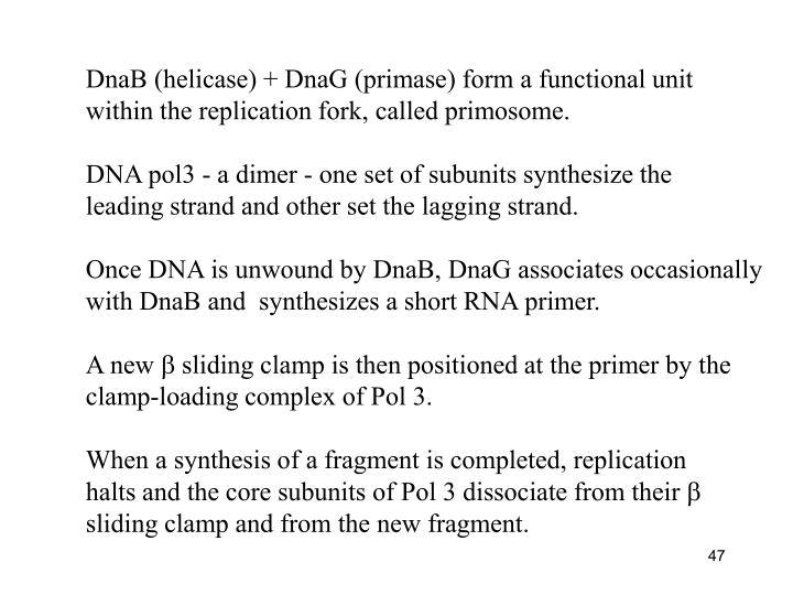 DnaB (helicase) + DnaG (primase) form a functional unit