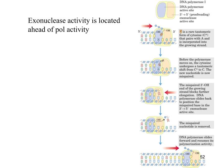Exonuclease activity is located