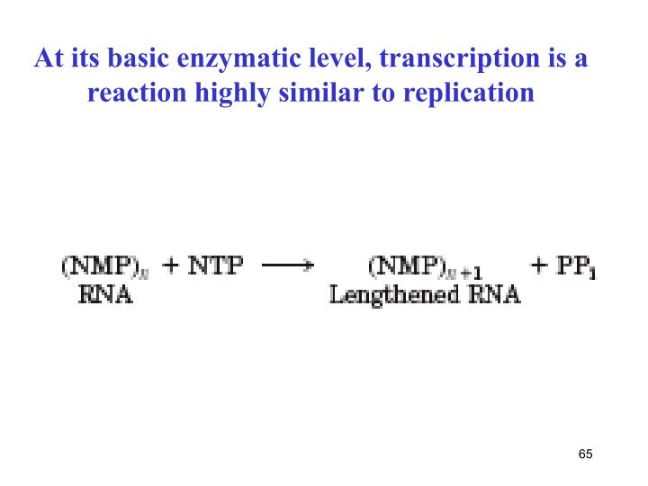 At its basic enzymatic level, transcription is a
