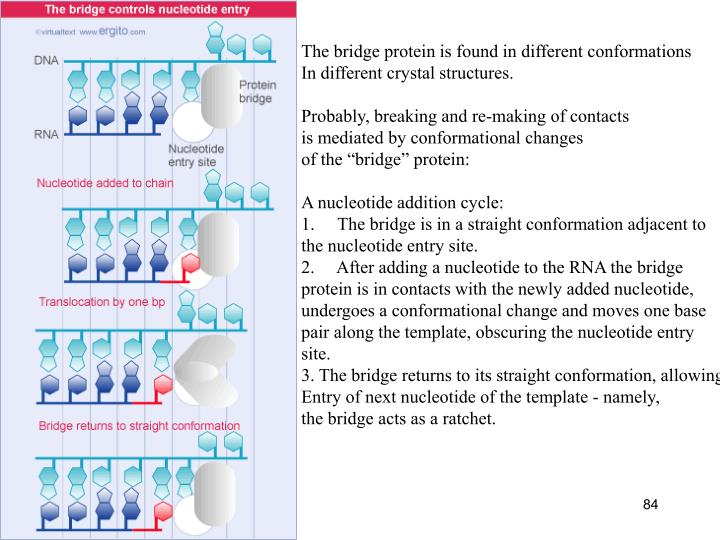 The bridge protein is found in different conformations