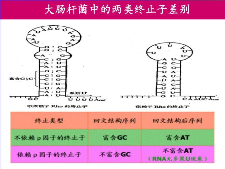 大肠杆菌中的两类终止子差别