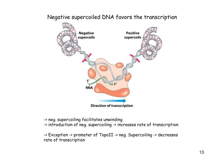 Negative supercoiled DNA favors the transcription