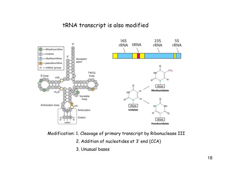 tRNA transcript is also modified