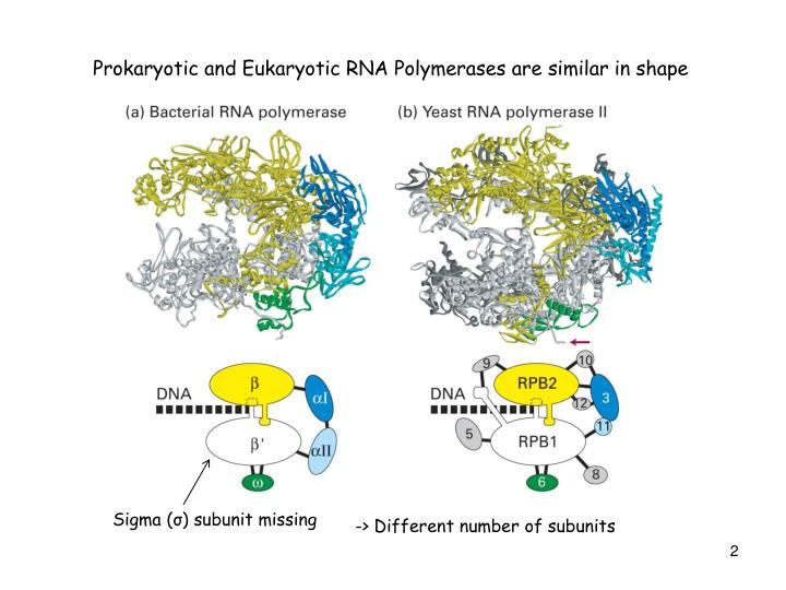 Prokaryotic and Eukaryotic RNA Polymerases are similar in shape